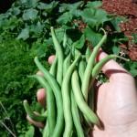 bush blue beans