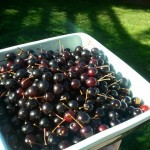 canadian red cherries