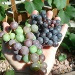 concord and pinot noir grapes