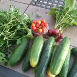 bountiful harvest: arugula, tomatos, cucumber and radishes